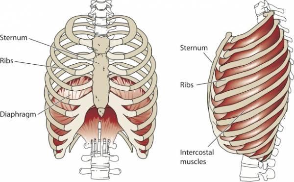 A diagram of breastbone